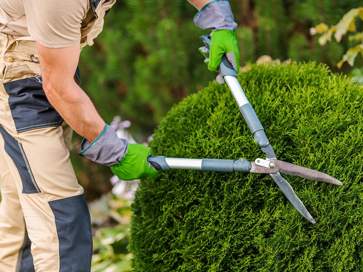 trimming & pruning of shrubs